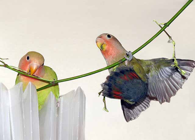 love birds pictures. love_birds. LOVE BIRDS: